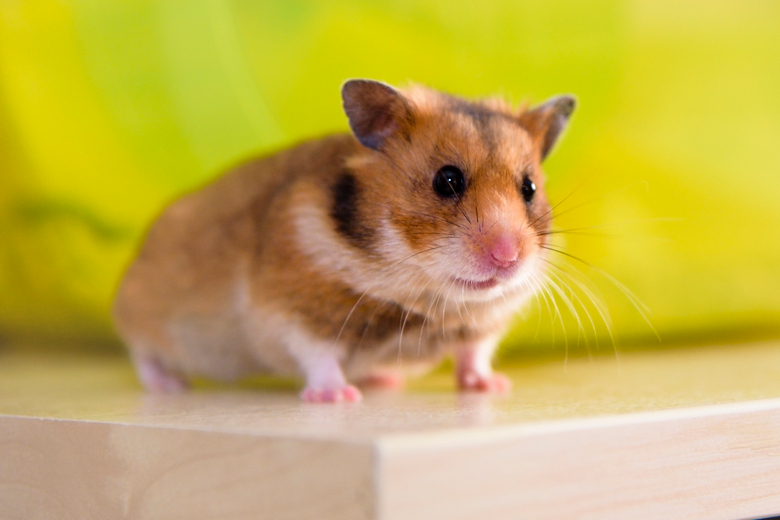 Teddy bear hamster care