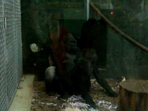 Gorilla with woman free sex tube