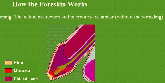 Erect uncircumcised penis foreskin