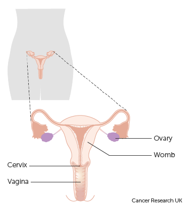 Where is the inside lining of vagina