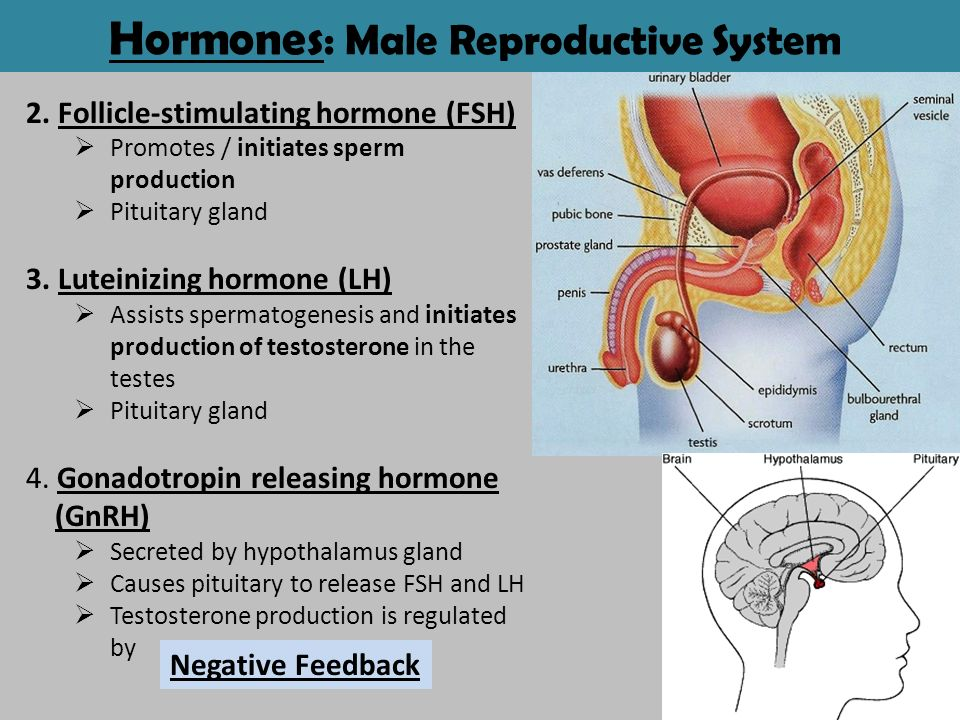 How is sperm production regulated