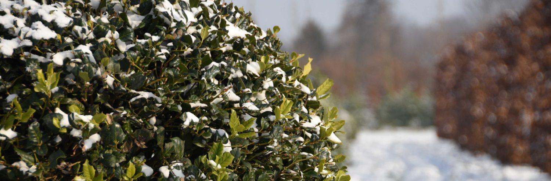 Semi mature hedging plants
