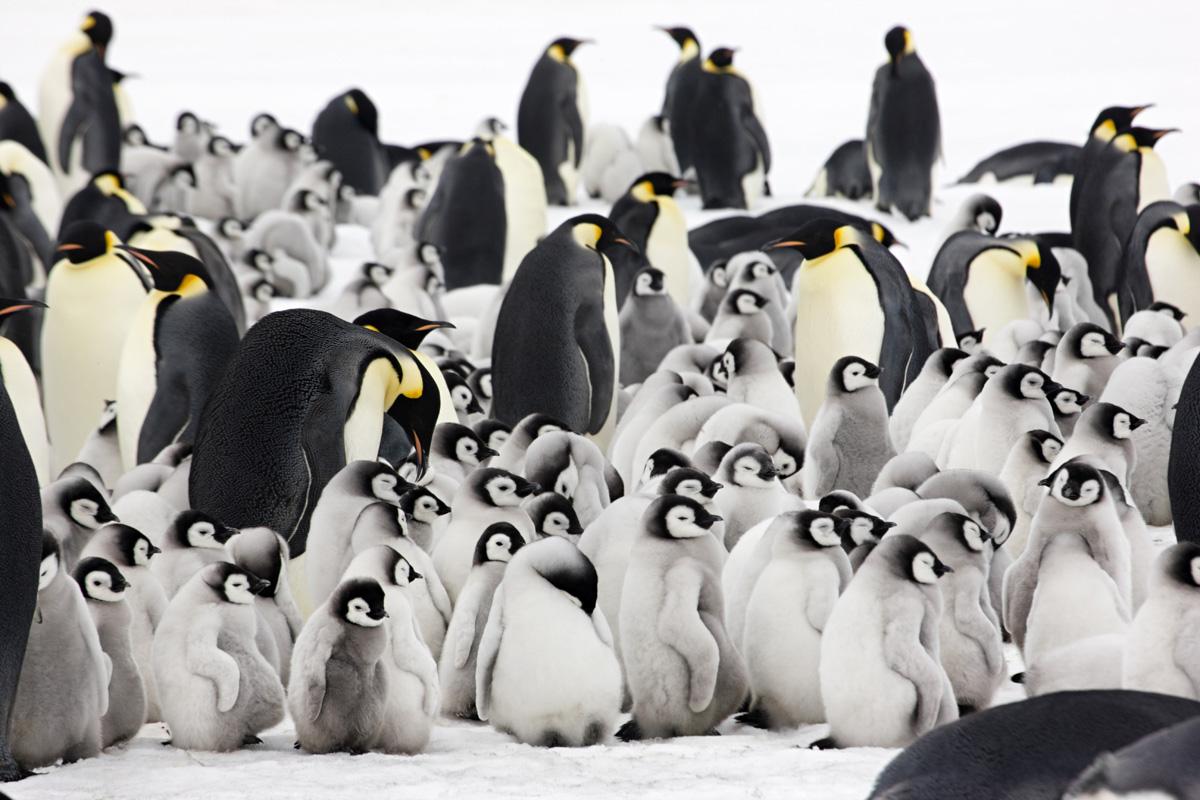Adult labor penguin picture