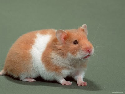 Teddy bear hamster care
